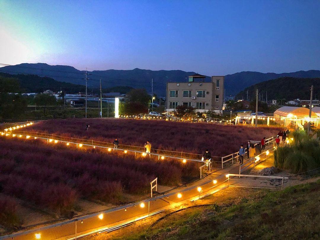 밤에 바라본 유기농카페의 핑크뮬리 꽃밭