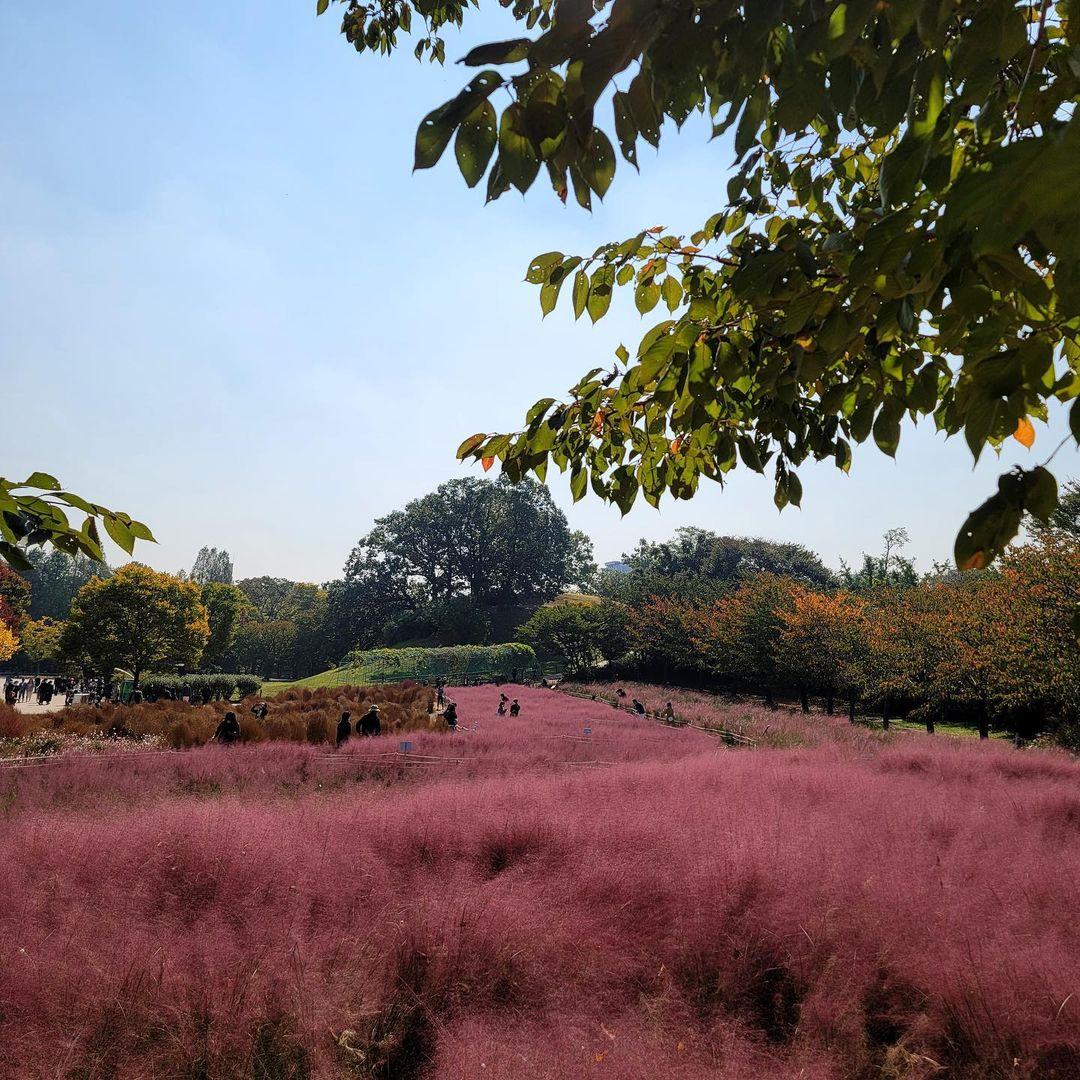 올림픽공원 안에 핑크뮬리