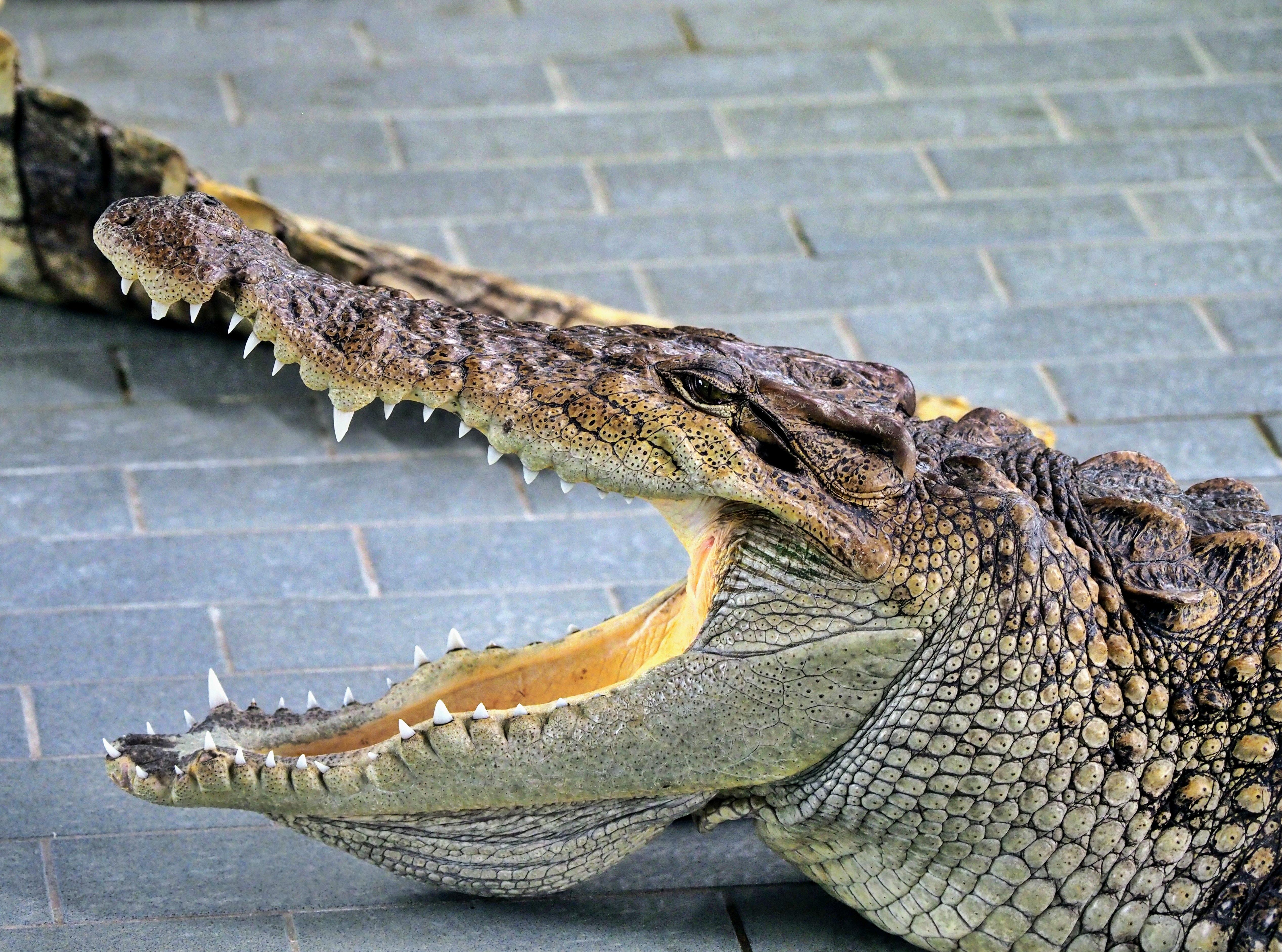 두꺼운 턱, 날카로운 이빨을 지닌 악어의 모습