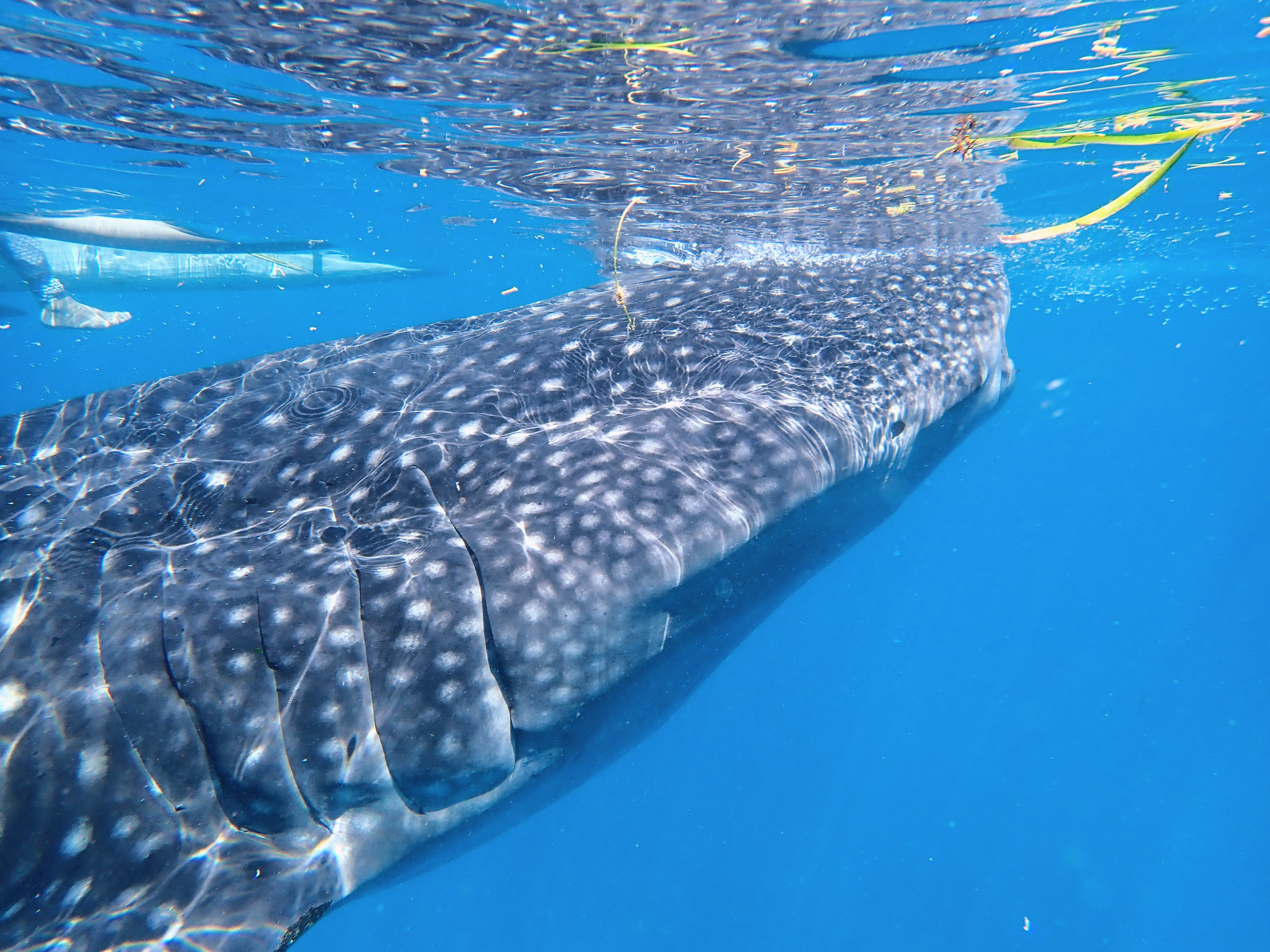 커다란 고래상어의 옆모습과 아가미