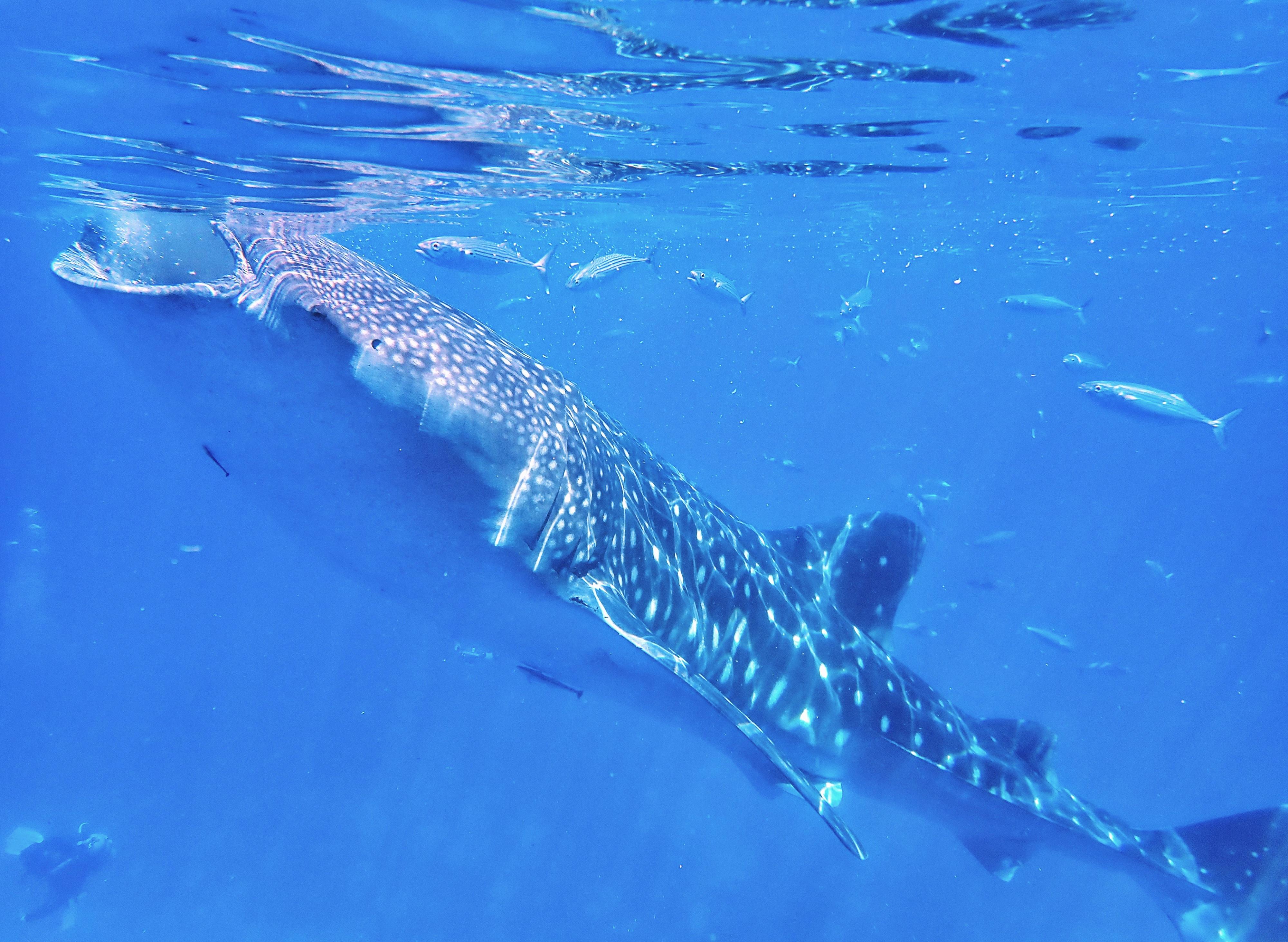 먹이를 먹으려 입을 벌리고 있는 고래상어