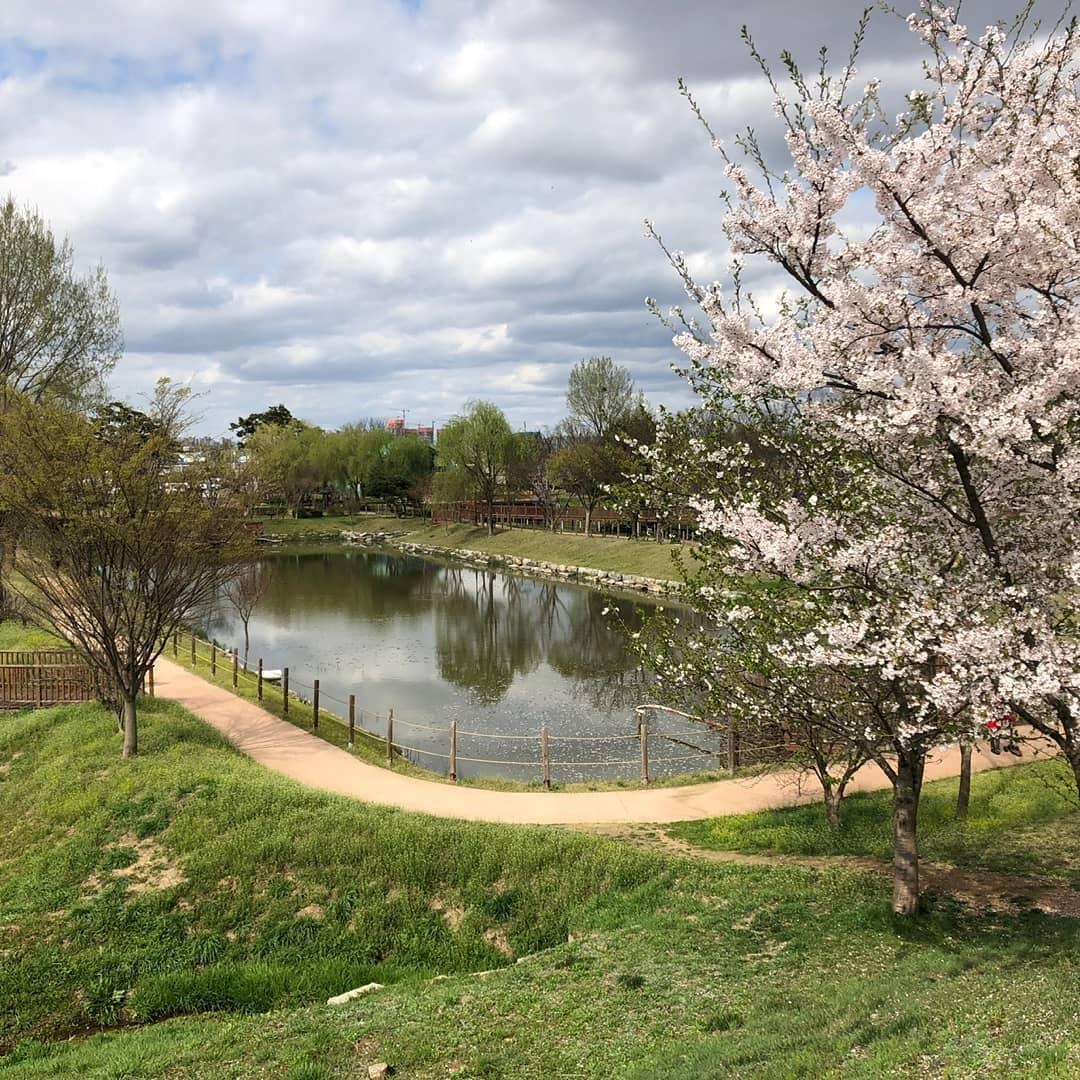 봄에 벚꽃나무가 활짝 핀 바람새마을의 풍경